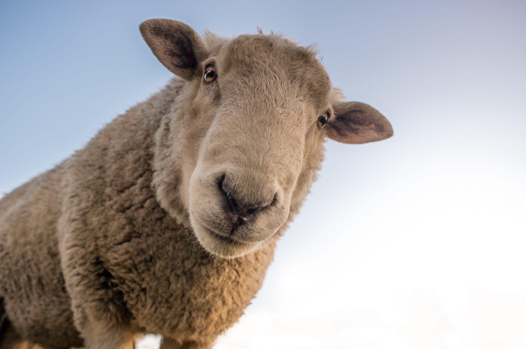 animal-cute-livestock-227691